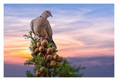 Tourterelle à la cime d'un Cyprès H (thierrybalint) Tags: tourterelle cime cyprès nikon nikoniste sigma tree bird sunrise cypress turtledove sky animal
