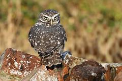 Little Owl - Athene noctua (Roger Wasley) Tags: little owl athenenoctua owls birdsofprey uk europe