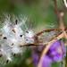 Asclepias tuberosa Dispersing Seeds