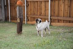 Darvee the Pug (patrick.b.collins) Tags: pug dog pet pumpkin scarecrow