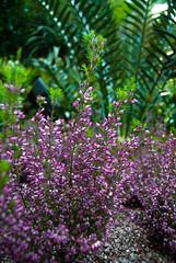 Flower 2, Flower Dome, Singapore (r_alessandrini) Tags: singapore flower dome flowerdome garden cespuglio bush violet lilla nonsochefioresia