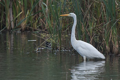 Great White Egret in West Yorkshire (Tim Melling) Tags: ardea alba great white egret bretton lakes west yorkshire 28october2018 timmelling