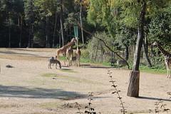 Giraffen und Zebras (Las Cuentas) Tags: giraffen zebras giraffe zebra animal animals zoo tierpark tier tiere burgerszoo canon eos 4000d