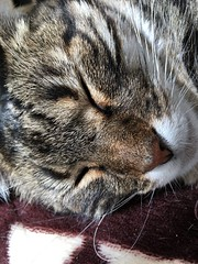 Tigger, Apparently Sleeping... (sjrankin) Tags: 21september2018 edited animal cat tigger closeup mat floor livingroom kitahiroshima hokkaido japan