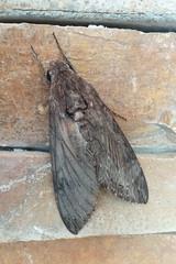 Agrius convolvuli (Convolvulus Hawkmoth) (Kristof Zyskowski and Yulia Bereshpolova) Tags: sphingidae agrius convolvuli convolvulushawkmoth papuanewguinea