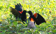 Red-winged Blackbird Death Match 3 (Kaptured by Kala) Tags: agelaiusphoeniceus redwingedblackbird blackbird maleredwingedblackbird whiterocklake dallastexas sunsetbay loud noisy closeup battle fighting territorial aggressive