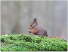 Red Squirrel (Nadine V.) Tags: eekhoorn redsquirrel sciurusvulgaris clinge nederland squirrel