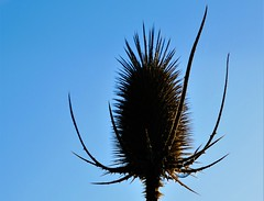 Distel (GabiMu) Tags: dew flower natur sun bloem zon gabimuyters natuur dauw ochtend distel groen green verde natura morninglight sonne blue blauw sky lucht bleu