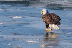 Bald Eagle (Lynn Tweedie) Tags: baldeagle 7dmarkii wyandottecountylake ef400mm56lusm canon