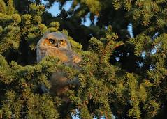 Great Horned Owlet...#9 (Guy Lichter Photography - 4.2M views Thank you) Tags: canon 5d3 canada manitoba winnipeg wildlife animals bird birds owl owls owlet greathornedowl