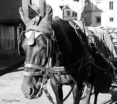 Unhappy, tired or both! (peregrinacr) Tags: animal horse florence italy carriage