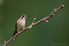 Speckled hummingbird. colibrí jaspeado, Adelomyia melanogenys (Sergio Bitran M) Tags: adelomyia melanogenys colibríjaspeado adelomyiamelanogenys speckledhummingbird ecuador nono ave bird 2017 apodiformes colibri picaflor hummingbird