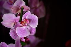 DSC_8129 (emina.knezevic) Tags: flower floralarrangements orchid pinkorchid nikon nikond3200 nikonphotographer closeup