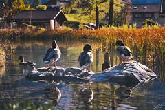 Four among themselves (Neshpictures) Tags: bird nature water lake animal duck outdoors pond river reflection wildlife beautyinnature autumn ruralscene waterbird landscape swimminganimal summer scenics goose everypixel