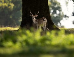 A young fallow deer buck on a bright Autumn day in Suffolk. (reynardfox) Tags: ngc fallowdeer suffolk