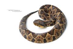 Atropoides nummifer (Matthieu Berroneau) Tags: atropoides nummifer atropoidesnummifer trip mexique mexico sony alpha macro nature france herpéto wildlife animal animaux ff 24x36 full frame a7ii 7ii 7mk2 sonyilce7m2 herping herpeto reptile reptilian reptilia serpent serpente snake serpentes snakes serpiente field serpents sonya7ii sonya7mk2 sonyalpha7mark2 sonyalpha7ii 90 28 fe f28 g oss fe90f28macrogoss sonyfesonyfe2890macrogoss objectifsony90mmf28macrofe sel90m28g herpmex tepocho jumping pit viper jumpingpitviper white highkey high key textbook fond fondblanc blanc
