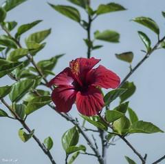 Rojo sobre verde (pedroramfra91) Tags: naturaleza nature flores flowers exteriores outdoors jardín garden macro verde green rojo red