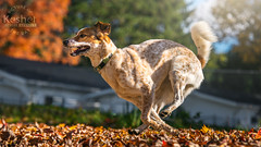 Picture of the Day (Keshet Kennels & Rescue) Tags: rescue kennel kennels adoption dog ottawa ontario canada keshet large breed dogs animal animals pet pets field tree forest nature photography gallop autumn leaves run stride