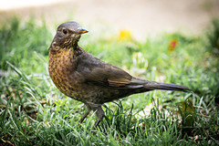 Female blackbird 3 (ArrrV) Tags: female blackbird nature garden wildlife bird