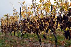 Vendanges...tardives  -  Late grape harvests (Philippe Haumesser Photographies (+ 6000 000 view)) Tags: vignoble vineyard chemin way nature automne autumn niedermorschwihr alsace elsass france nikond7000 nikon d7000 reflex 2018 llva hautrhin 68