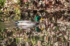 Autumn Mallard (Mibby23) Tags: mallard duck bird reflection leaves water wildlife nature watermead lake canon 5dmk4 sigma 150600mm contemporary