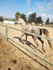 8 (redi3103) Tags: egyptian arabian horse for sale buy champion