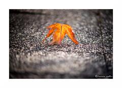 Toute seule... (francine koeller) Tags: feuille leaf autumn automne orange m42 makinon