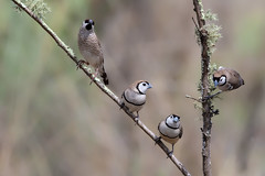 Double-barred Finch (Taeniopygia bichenovii) and Plum-headed Finch (Neochmia modesta) (Ian Colley Photography) Tags: doublebarredfinch taeniopygiabichenovii plumheadedfinch neochmiamodesta inverell bird canoneos7dmarkii ef100400mmf4556lisiiusm 14extender
