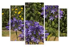 Agapanthus (Audrey A Jackson) Tags: canon60d agapanthus blue macro nature
