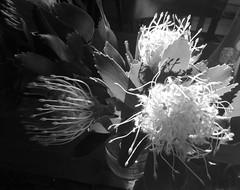 Domestic moments (YAZMDG (16,000 images)) Tags: pincushionflowers leucospermum australianflora nb bw blackandwhite noiretblanc