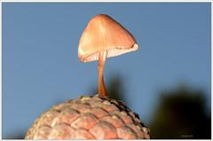 Fir Cone nad Shroom (2) (bobspicturebox) Tags: mushrooms horse head backbone honeycomb cep penny bun fly agaric blusher brittle stem false death cap knight deceiver russula forest scenes hampshire