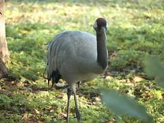 crane (AN07) Tags: slimbridge crane