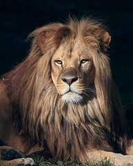 portrait of the king (rondoudou87) Tags: lion king roi portrait pentax k1 smcpda300mmf40edifsdm sauvage wildlife wild nature natur parc park parcdureynou zoo reynou eyes yeux regard look light lumière shadow ombre rondoudou87