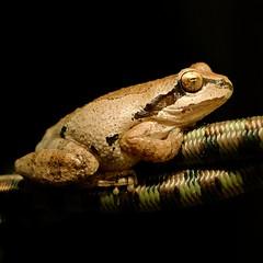 Jay-Fro II (rahtenkhamen) Tags: pacifictreefrog frog handheld gimp fujifilmx30 velvia
