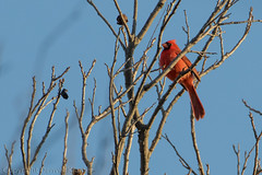 20180303-_E1A1763 (Denver Kramer) Tags: animals canon100400mmll canon7dll clearcreek denverkramerphotography northerncardinal texas birds wildlife denton unitedstates us