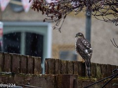 Sparrowhawk on the fence (dudutrois) Tags: sparrowhawk