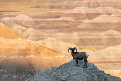 Enjoying the View ((JAndersen)) Tags: badlands badlandsnationalpark bighornsheep wildlife animal sheep erosion nikon nikkor20005000mmf56 d810 southdakota usa