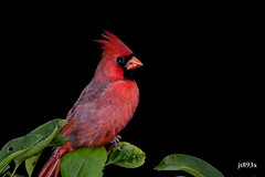 Northern Cardinal (jt893x) Tags: 150600mm bird cardinal cardinaliscardinalis d500 jt893x male nikon nikond500 northerncardinal sigma sigma150600mmf563dgoshsms songbird alittlebeauty coth httpswwwflickrcomphotoscimarronmayor thesunshinegroup coth5 ngc