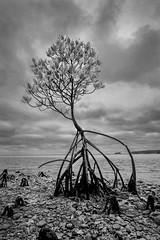 mangrove (MakiEni777) Tags: mangrove tree nature japan sea