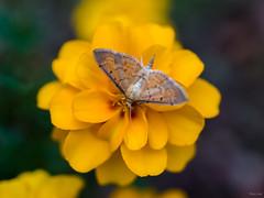 Moth and Marigold (Phet Live) Tags: phet live macro ricoh gxr a12 50mm f25
