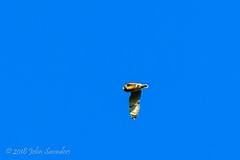 Short-eared Owl (Johnchess) Tags: richmondpark 2november2018 fridaybirdgroup