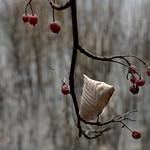 late cherries thumbnail