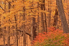 Golden Age (Goromo) Tags: fall autumn yellow golden woods forest fallcolor trees leaves