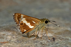 Sebastonyma pudens - the Tufted Ace (BugsAlive) Tags: butterfly mariposa papillon farfalla schmetterling 蝴蝶 бабочка conbướm ผีเสื้อ animal outdoor insects insect lepidoptera macro nature hesperiidae sebastonymapudens tuftedace hesperiinae wildlife doisutheppuinp chiangmai liveinsects thailand thailandbutterflies ผีเสื้อจุดเหลี่ยมขนปุย