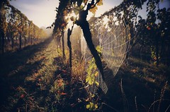 Moody fall morning (DrQ_Emilian) Tags: landscape view vineyards grapes web spiderweb light sunlight sunshine colors details nature natural morning mood moody outdoors fall autumn season october travel visit explore discover wanderlust beautiful stetten kernen remstal remsmurrkreis badenwürttemberg germany europe photography hobby