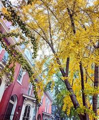 ginkgo season (ekelly80) Tags: dc washingtondc fall november2018 ginkgo yellow trees golden sun light glow swannstreet rowhouses lookup above leaves fallcolors fallfoliage