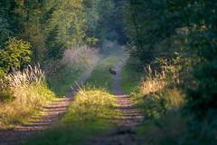 Encounter at a morning walk - Begegnung beim morgentlichen Spaziergang (ralfkai41) Tags: hase woodlands spaziergang landscape landschaft hike nature forest animal wood tier walk wald natur wamdern begegnung encounter