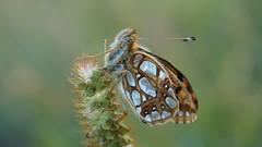 Au crépuscule... (passionpapillon) Tags: macro papillon butterfly insecte passionpapillon 2018