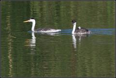 Three Grebes 0619 (maguire33@verizon.net) Tags: aechmophorusclarkii clarksgrebe grebe pradoregionalpark bird wetlands wildlife chino california unitedstates us