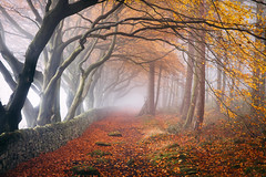 Lost in Autumn (J C Mills Photography) Tags: peakdistrict derbyshire autumn fall leaves colour trees avenue wall beech mist fog tunnel
